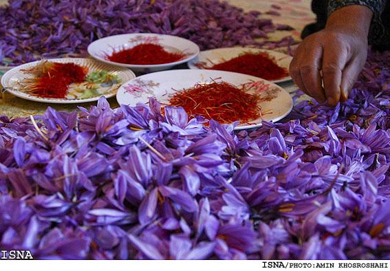 Saffron-Farm-Mashhad20